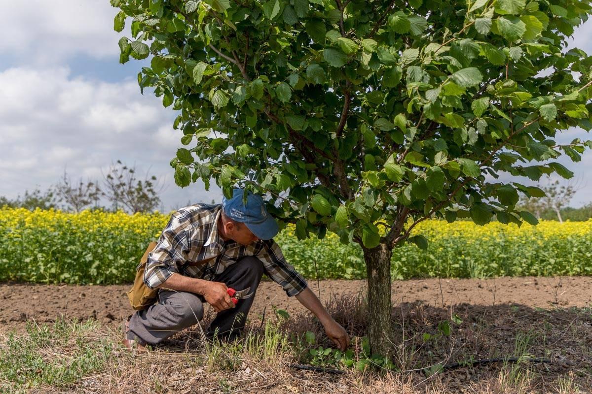 Выращивание фундука как бизнес: как заработать