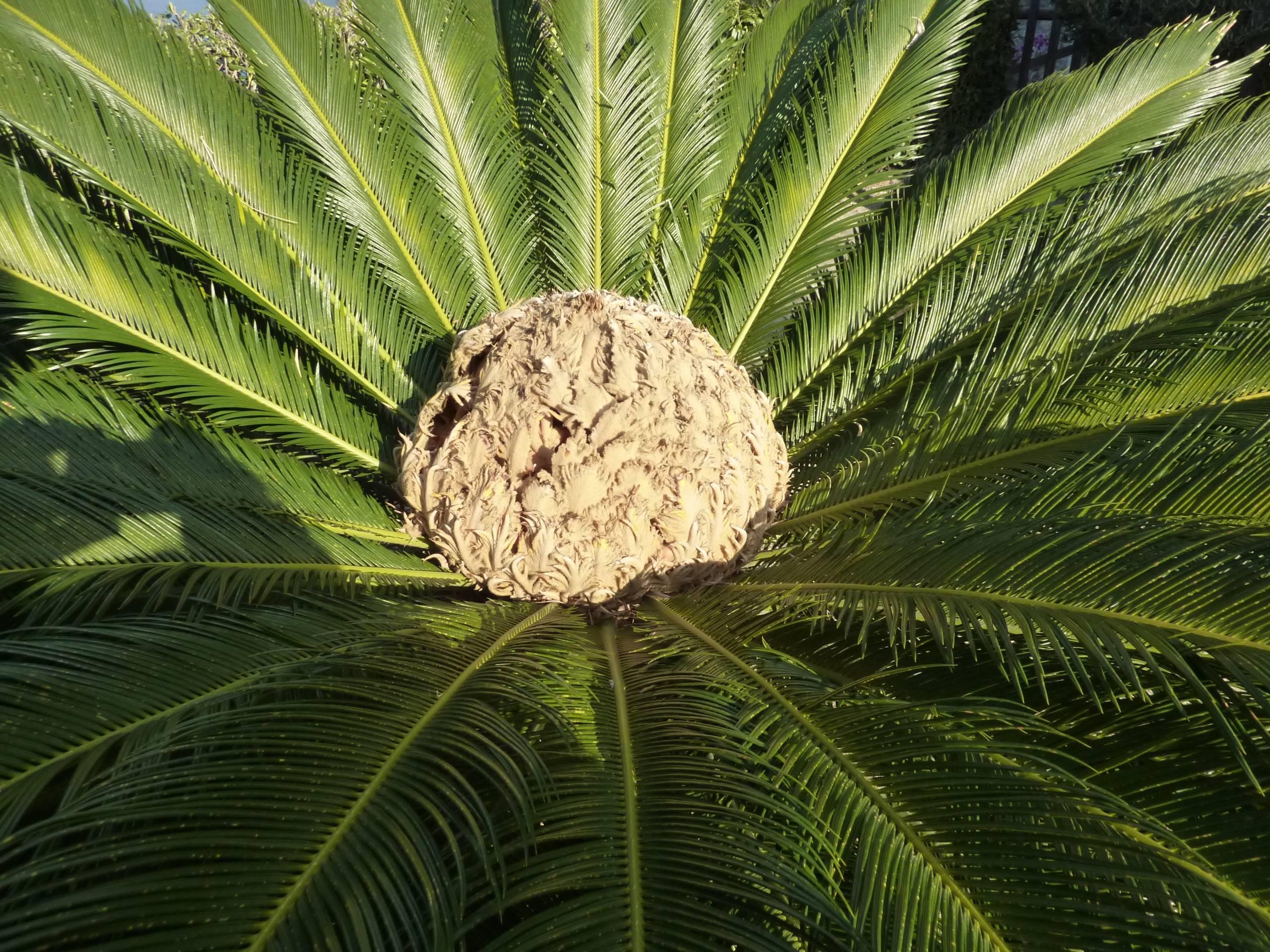 Кокосовая пальма в домашних условиях: реально или нет? кокосовая пальма в домашних условиях