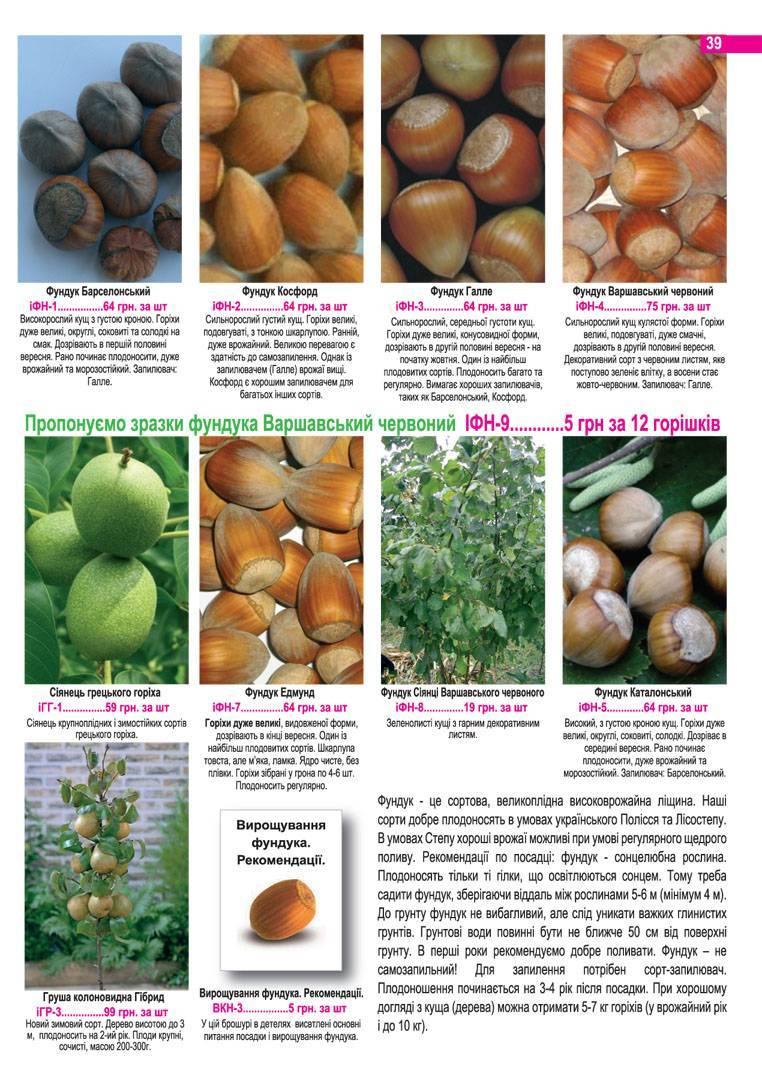 Высокоурожайный вид лещины — фундук Трапезунд. Характеристика и описание сорта, правила выращивания