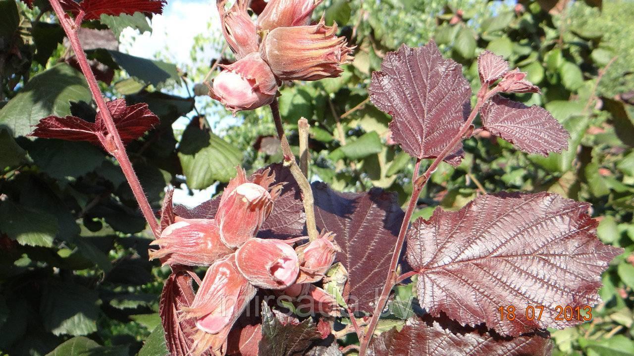 Фундук (лещина, орешник), описание сортов: трапезунд, кавказ, краснолистный и другие с фото