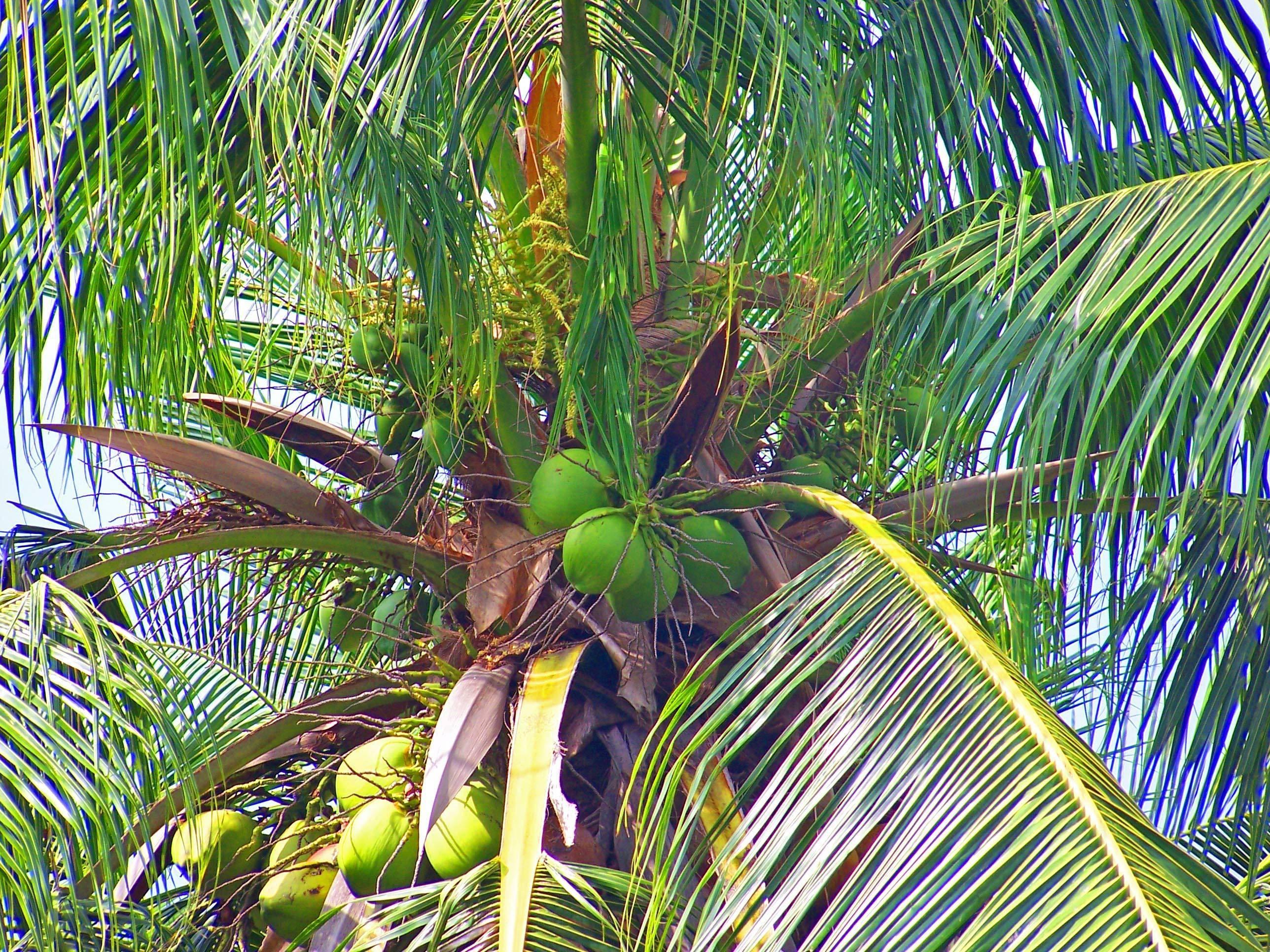 Финиковая пальма: в природе и дома.