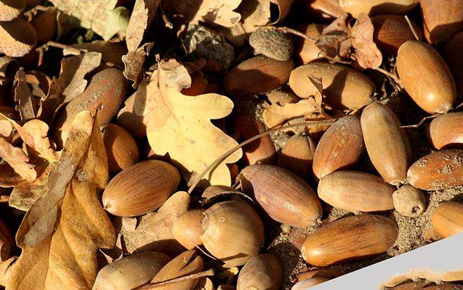 Желуди: польза и вред, рецепты блюд с плодами дуба