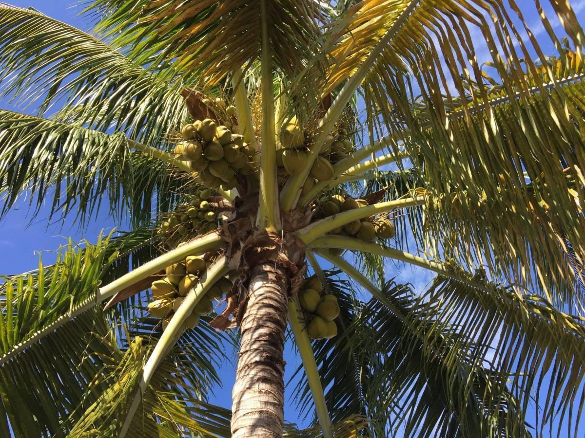 Сколько растет пальма: ответы на вопросы