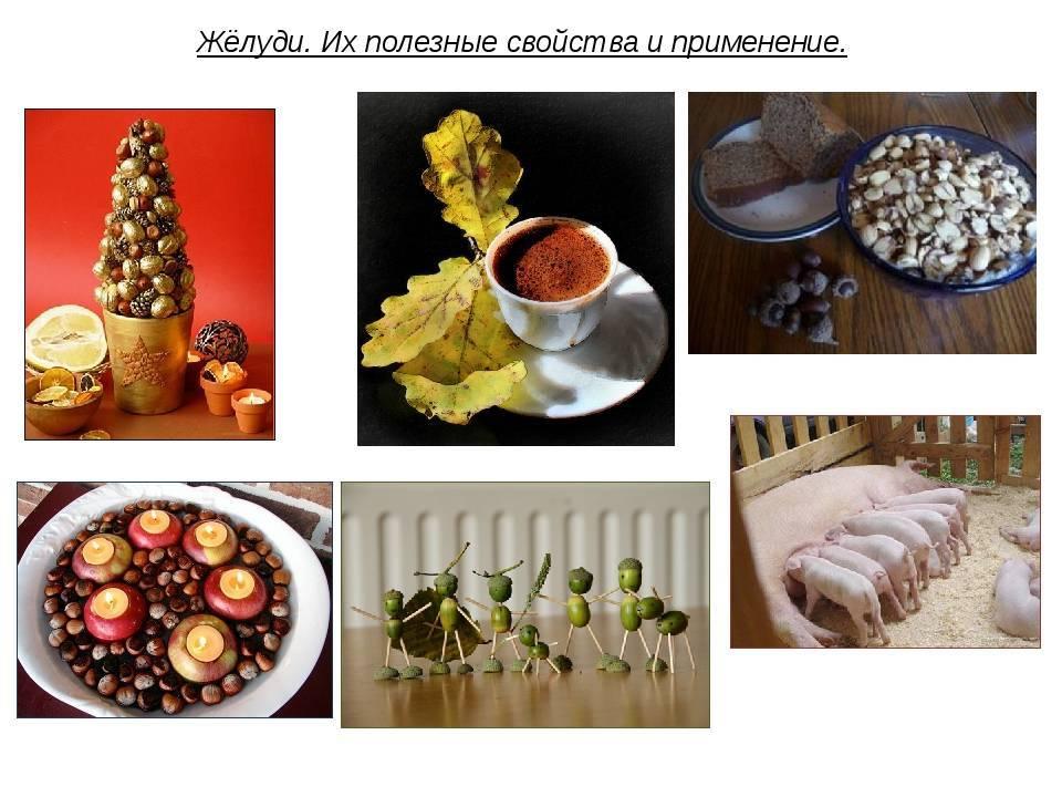 Жёлудь — описание растения и плода, полезные свойства и применение. выращивание дуба из желудя