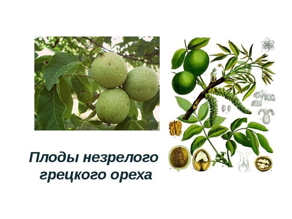 Формирование слабых однолеток грецкого ореха, имеющих плоды