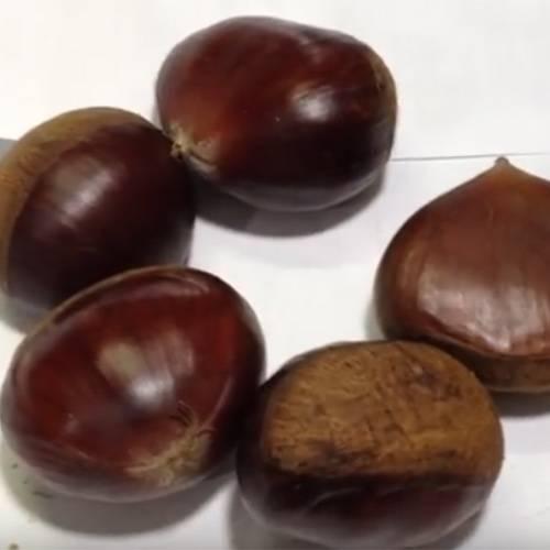 Как вырастить каштан из ореха в домашних условиях: правила посадки и нюансы ухода за деревцем