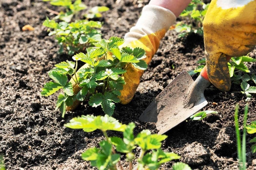 Особенности выращивания грецкого ореха: правила посадки и ухода