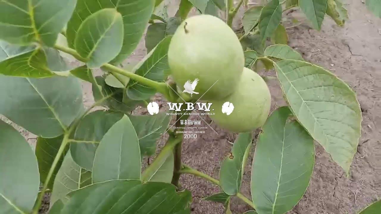Грецкий орех. итоги исследований и перспективы выращивания — портал ореховод