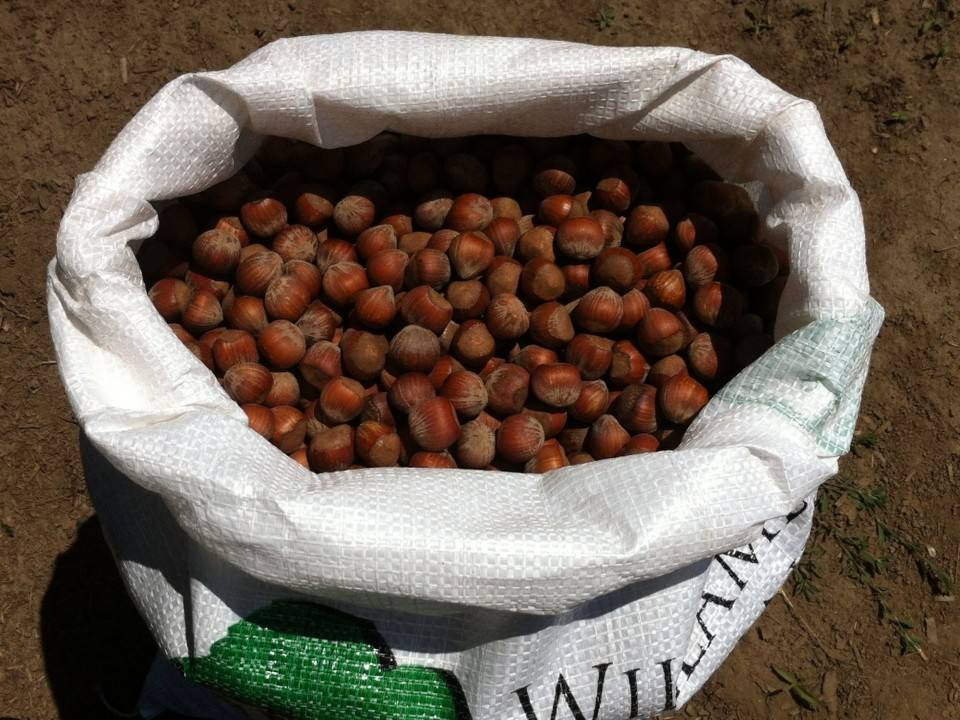 Фундук трапезунд урожайность с дерева: фундуковый сад бизнес план