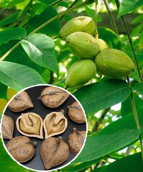 Что представляют из себя ланкастерские орехи