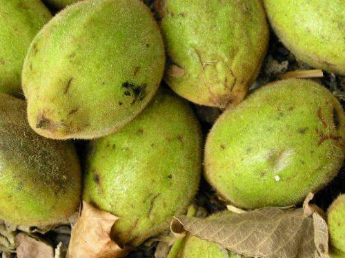 Описание и характеристики ланкастерского ореха, посадка и уход