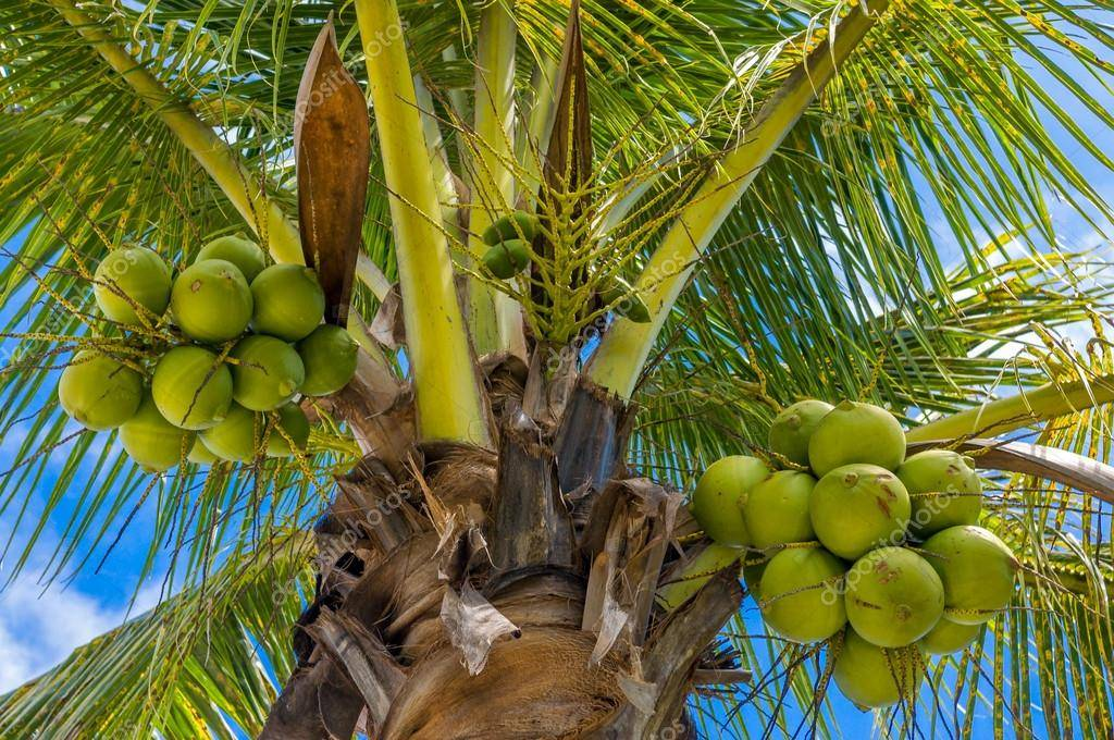 Как кешью растет в природе, полезен ли, где применяется, как добывают? интересные факты об индийском орехе