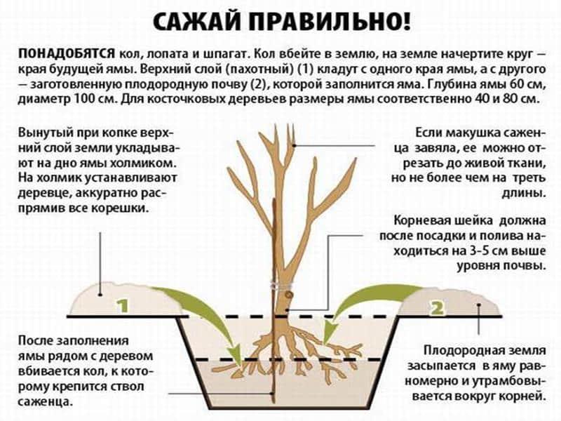 Как посадить и вырастить грецкий орех в домашних условиях