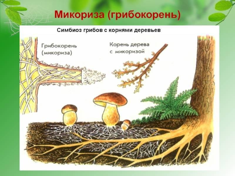Что такое микориза и для чего она ореху?