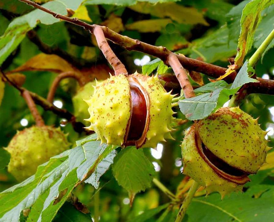 Каштан посевной — отличная замена другим видам орехов