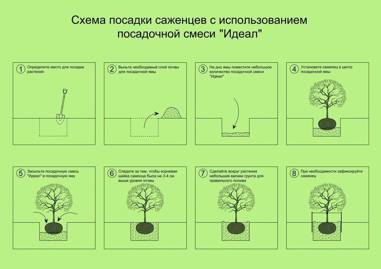 Грецкий орех идеал размер дерева. описание грецкого ореха сорта идеал, выращивание и уход