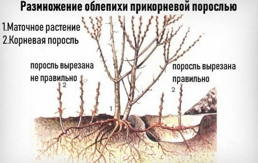 Выращивание фундука: особенности посадки и ухода, размножение, пересадка, болезни и вредители, подкормка осенью, обрезка
