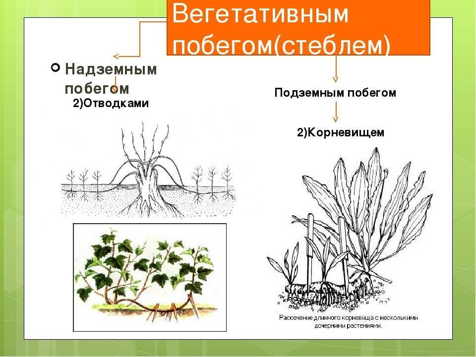 Особенности вегетативного размножения