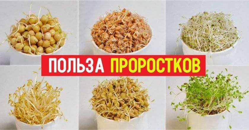 Пророщенная пшеница - польза и вред, как прорастить и употреблять, советы врачей