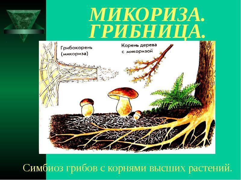 Преимущества использования микоризных грибов при посадке растений. микоризные препараты. фото — ботаничка.ru