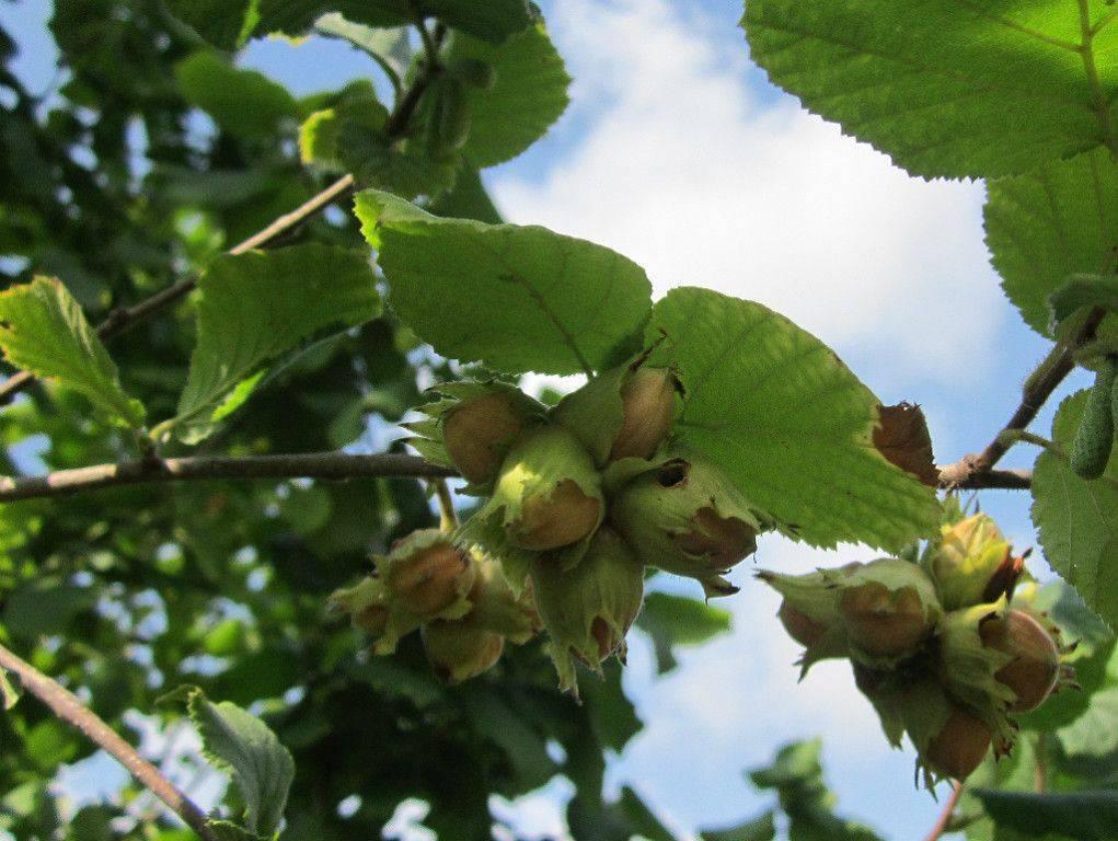 Фундук: польза и вред для организма, советы по выбору, лесной орех