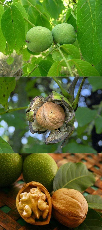 Как и где растёт грецкий орех: описание и фото дерева, плодов, листьев
