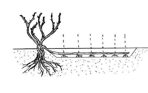 Размножение фундука горизонтальными отводками