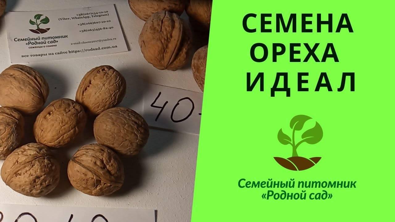 Когда (во сколько лет) начинает плодоносить грецкий орех?