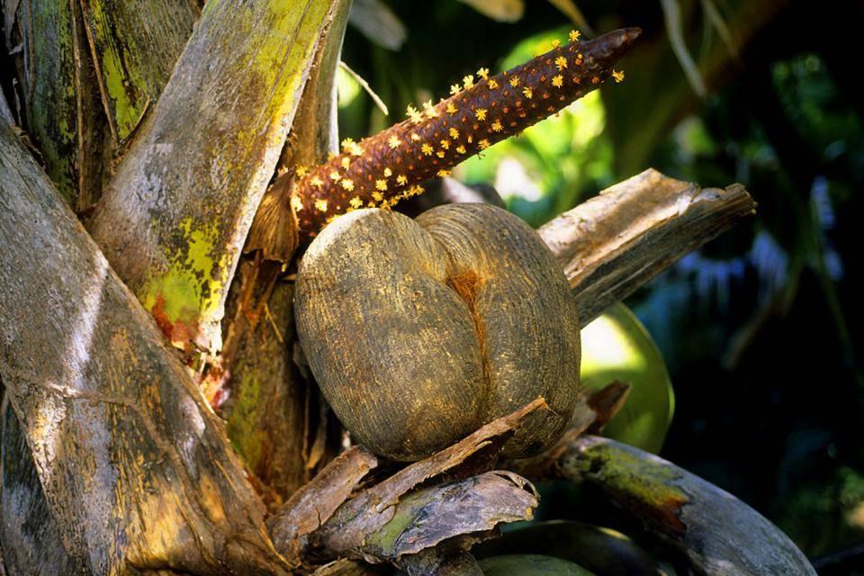 Орех сейшельский коко де мер мужской- орех эксперт