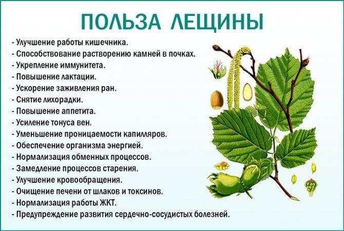 Лещина, лесной орех: фото, польза, свойства, противопоказания, лечением лещиной в народной медицине
