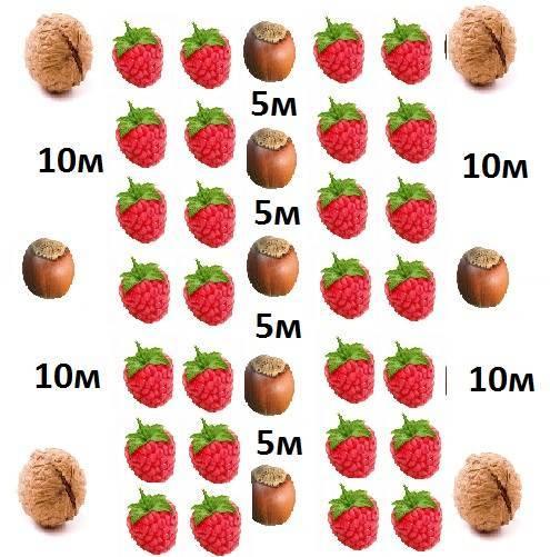 Как вырастить фундук из ореха в домашних условиях?