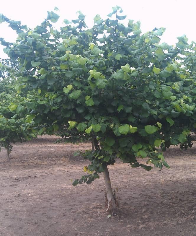 Лещина (орешник): посадка и уход, выращивание в саду, виды и сорта