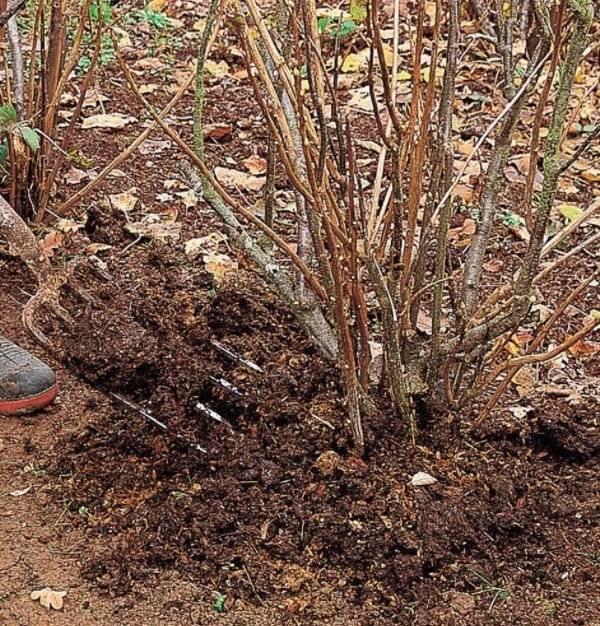Подкормка и удобрение яблонь весной и летом