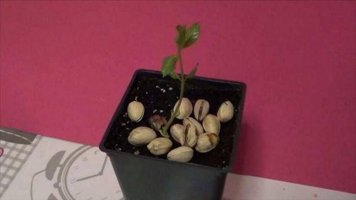 Как вырастить фисташковое дерево из косточки в домашних условиях