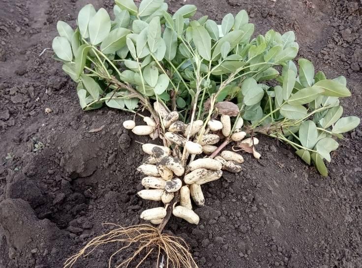 Как вырастить арахис в домашних условиях на огороде и в контейнере