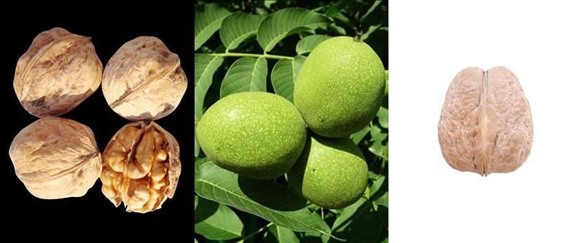 Сорта грецкого ореха для казахстана, узбекистана, кыргызстана — сириус агро плант