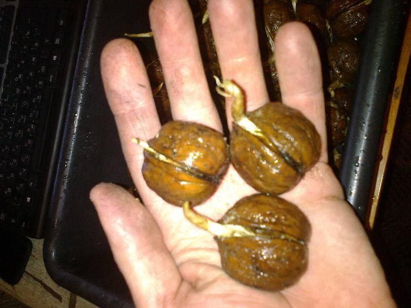 Как из ореха вырастить грецкий орех: правила посадки