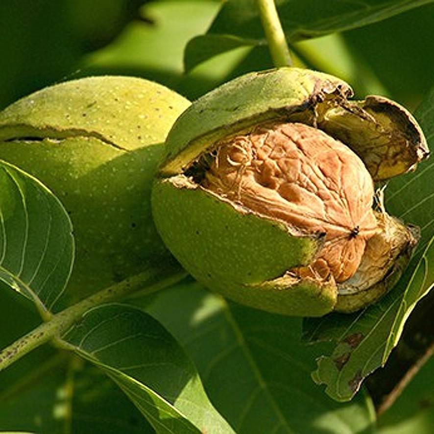 Грецкий орех: лечебные свойства | food and health
