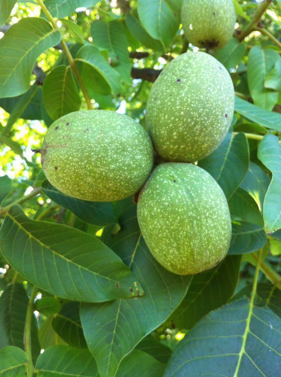 Бизнес план по выращиванию орехов в саду