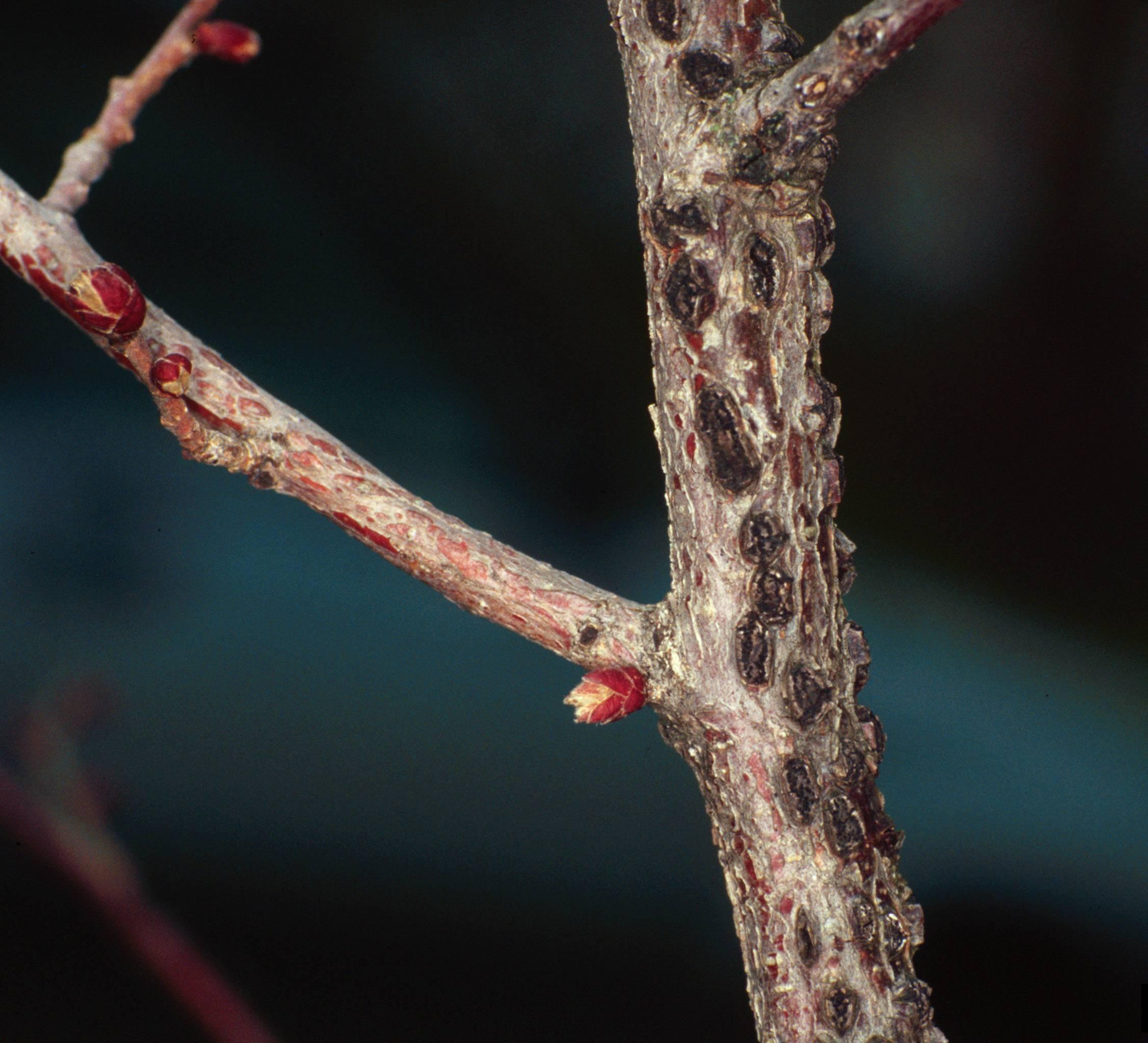 Лещина обыкновенная: описание, посадка и уход, болезни