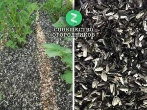 Как быстро очистить семечки подсолнуха от шелухи в домашних условиях: способы, советы. как чистят подсолнечные семечки от шелухи на производстве в промышленных масштабах: описание, видео. как чистить