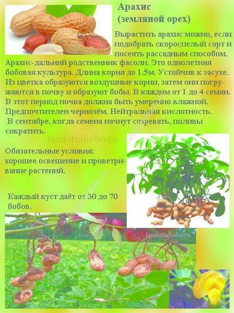 Польза арахиса для организма человека: что ценного дает нам земляной орех?