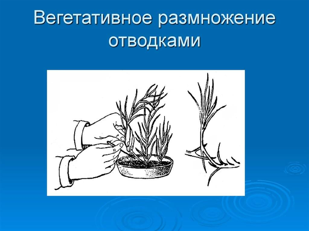 Вегетативное размножение - vegetative reproduction - qaz.wiki