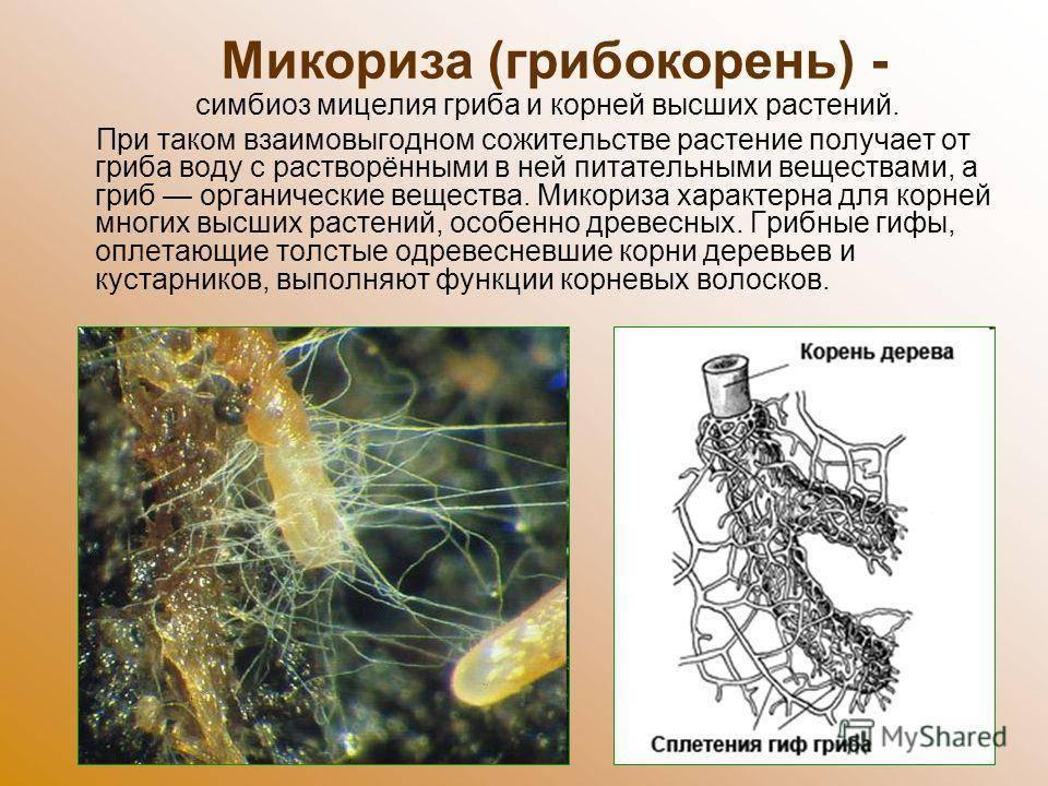 Что такое микориза в биологии?