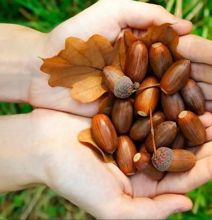 Листья дуба – описание продукта с фото, его состав и калорийность; полезные свойства и вред; лечение продуктом; применение в кулинарии