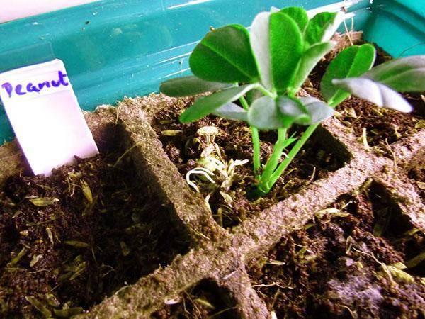 Арахис: выращивание в открытом грунте. как вырастить арахис в домашних условиях на огороде