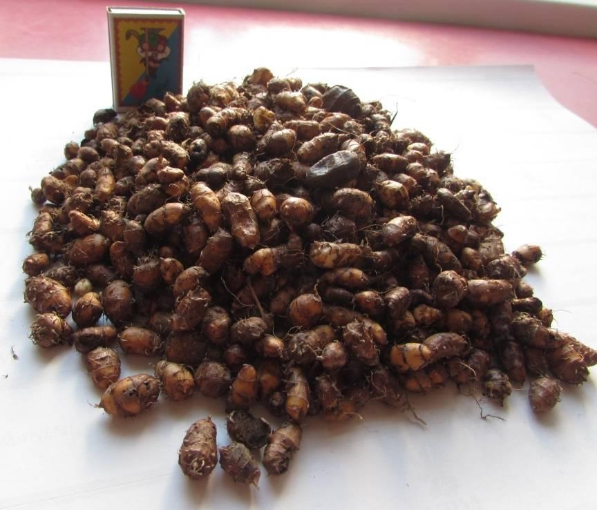Чуфа: что за растение, полезные свойства - орех эксперт