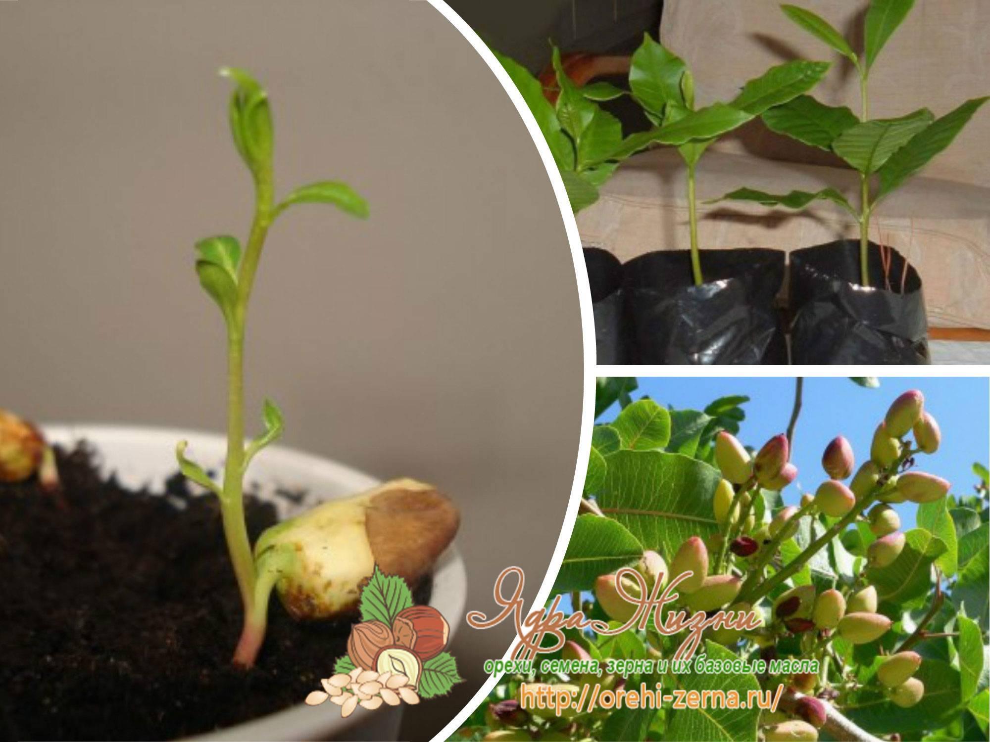 Как посадить и вырастить фисташки в домашних условиях