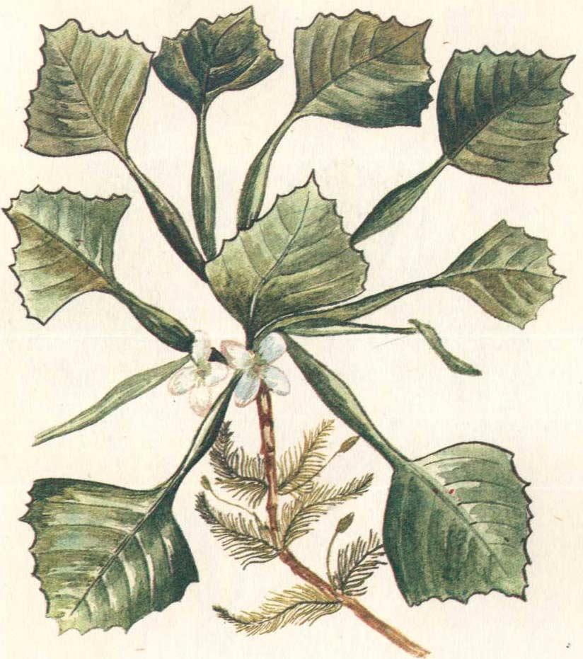 Водяной орех: описание растения чилим, его полезные свойства и применение в кулинарии