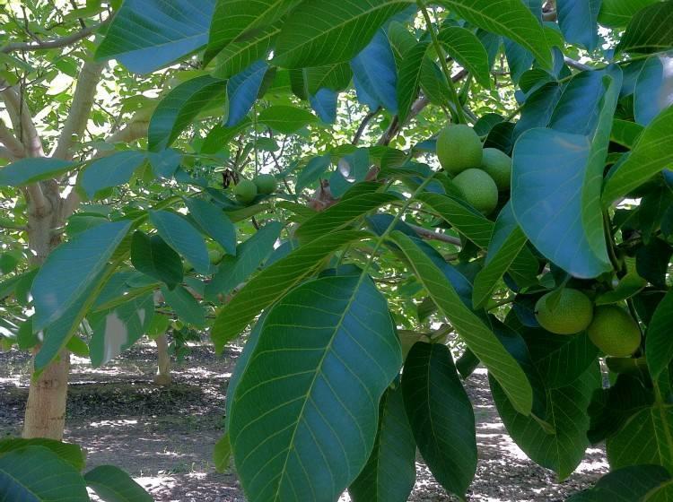 Математика грецкого ореха: как самому составить бизнес-план орехового сада — портал ореховод